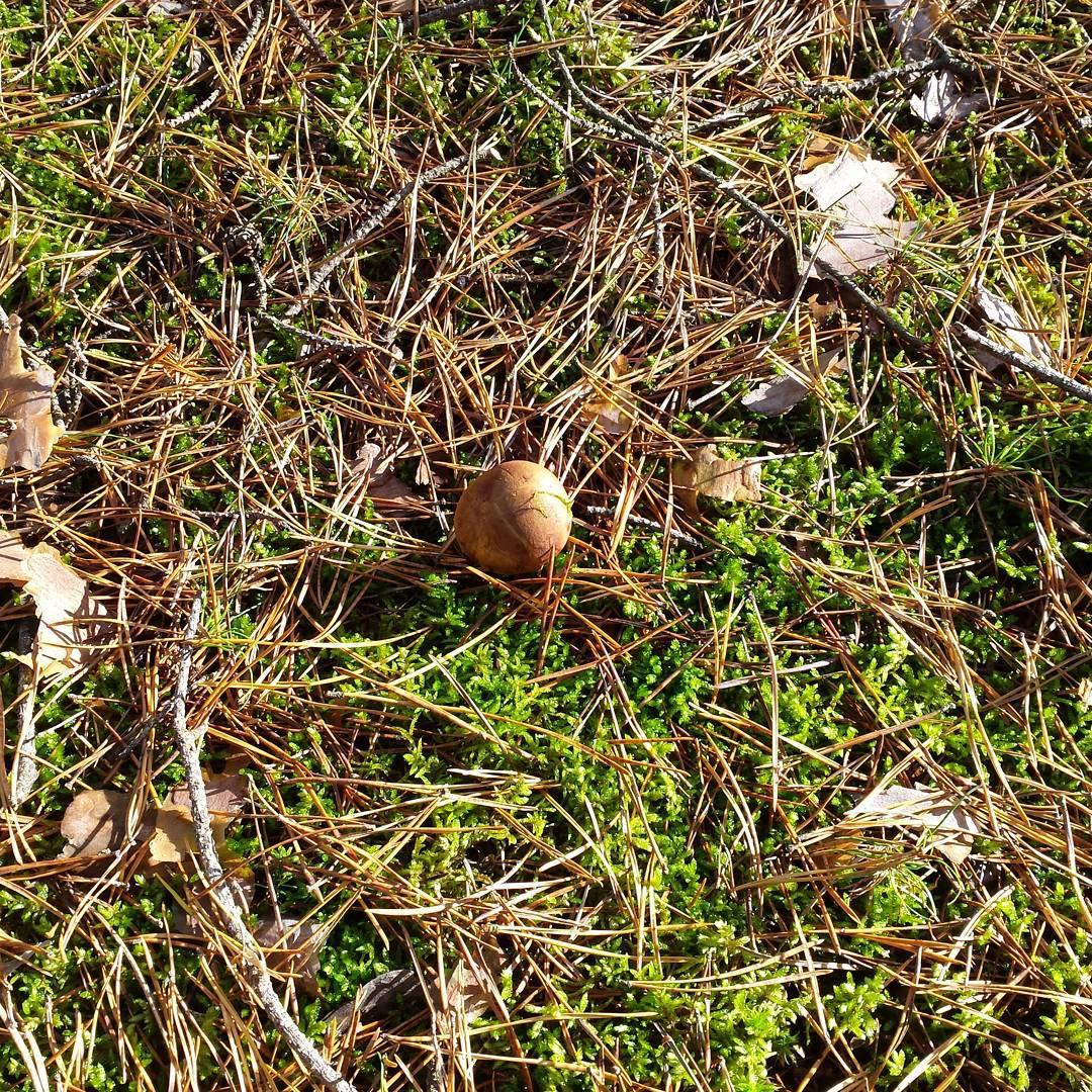 Jeden jedyny pikny zamszowy pachncy podgrzybek  las nagrzyby jesiehellip