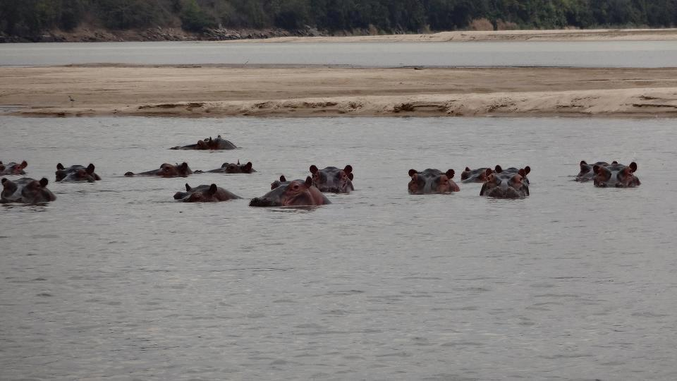 hipopotamy_nela_mala_reporterka
